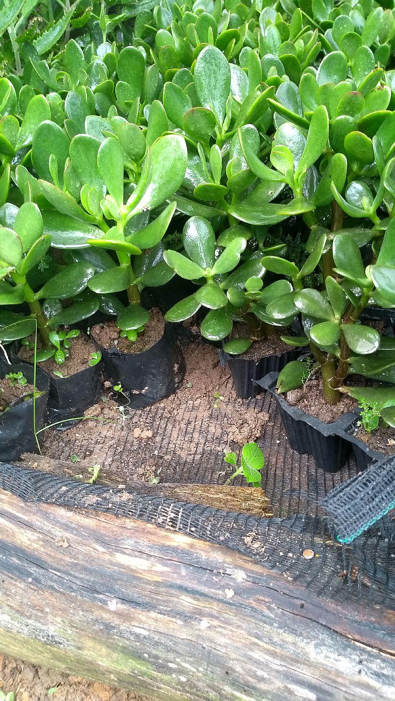Muda da planta jade ou arvore da fortuna.