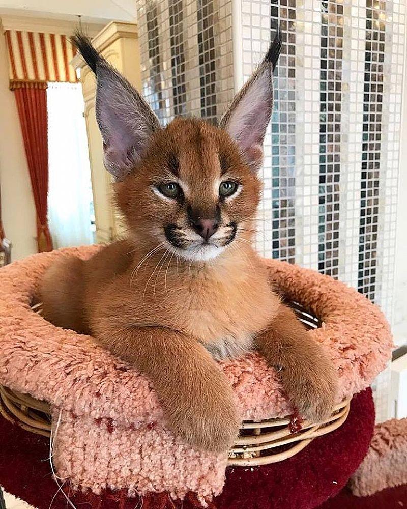 Serval,  savannah f1 e gatinhos caracal disponiveis