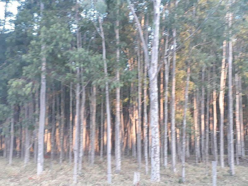Vendo plantacao de eucalipto