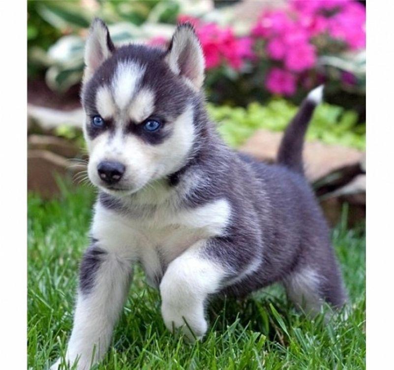 Husky siberiano  olhos bicolores whatapp  31687219453