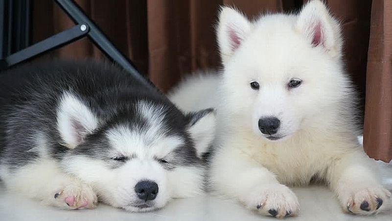 Filhotes husky siberian whatapp