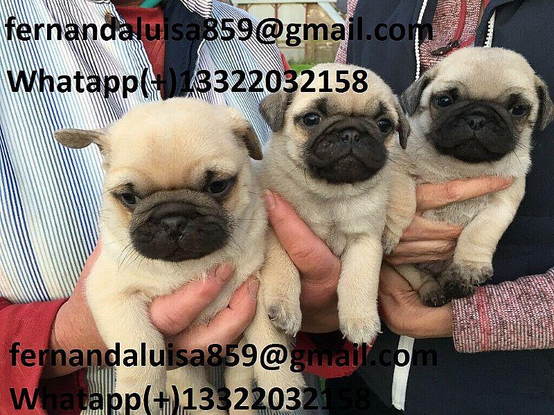 Pug whtapp  13322032158 lindos