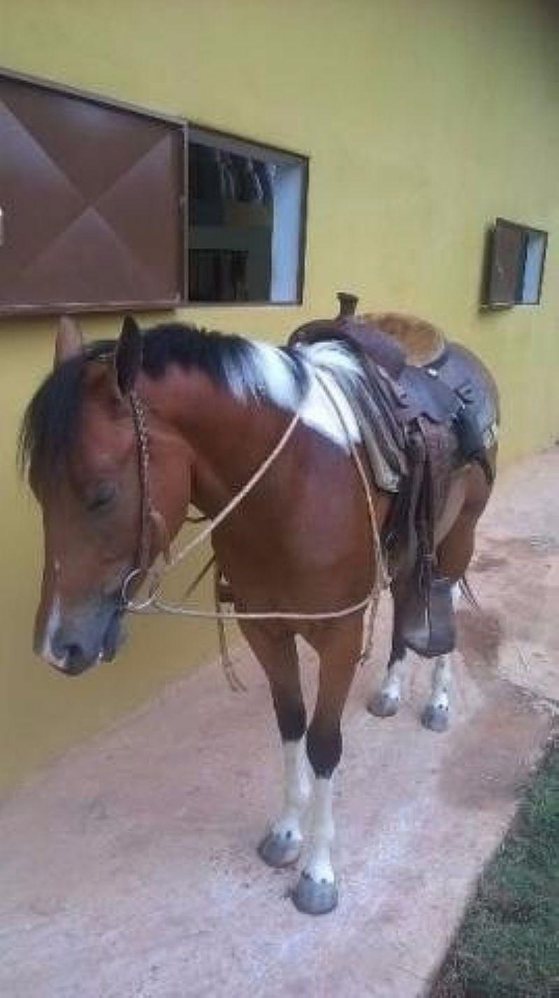 Égua - Potra Paint Horse X Quarto De Milha