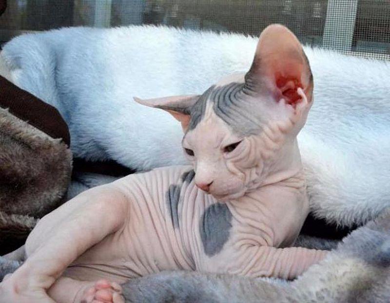 Masculino saudavel e gatinhos de Sphynx Feminino procurando novas casas