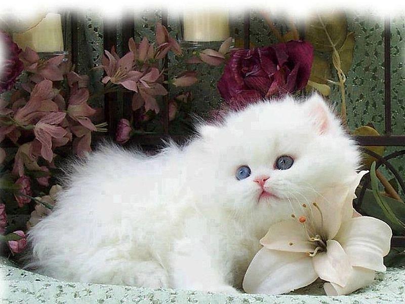 Gatinhos Persa E Exoticos Super Fofinhos