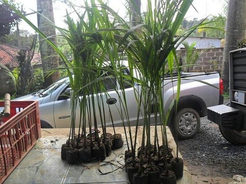 Mudas de palmeiras imperial  goiania goias