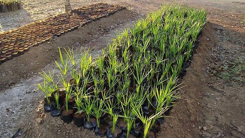 1 muda buriti (planta dioica)