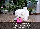 Canil Puppy Mazzoleni - Maltes Filhotes