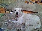 Doacao de cachorro branco