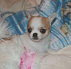 Cachorrinho chihuahua para realojamento