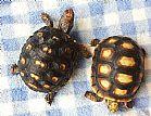 venda tartaruga terra