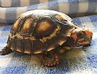 tartaruga de terra filhote,  jabuti,  jabutipiranga,