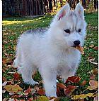 Husky siberiano para adocao
