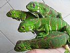 Vendo iguanas baby