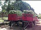 coco verde,  venda de coco verde petrolina,  juazeiroo