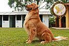 Golden retriever - macho com 1 ano - filho do melhor golden jovem do brasil!