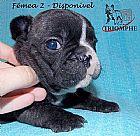 Bulldog frances - filhotes