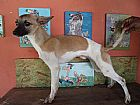 Whippet em cotia