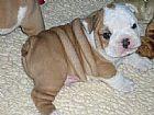 Filhote de bulldog ingles serra es