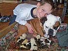 Caozinho de pura raca bulldog ingles