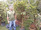 muda de jabuticaba produzindo3 mt goiania goias (62)85701915