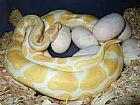 pitones bola albino,  pitones piedbald y otras especies de serpientes,