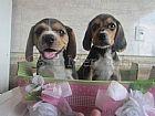 Beagle filhotes formidaveis e carinhosos