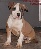 American staffordshire terrier filhotes