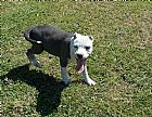American staffoordshire terrier filhotes