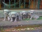 Weimaraner filhotes