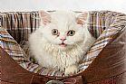 Gato persa femea