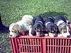 Basset hound venda de caes