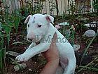 Bull terrier venda de caes