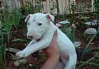 Bull terrier filhotes de natal