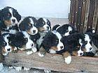 Filhotes de bernese mountain