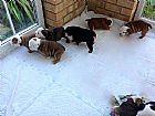 Filhotes bulldog ingles