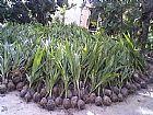 Mudas de coqueiro an�o verdadeiro de produa��o m goias goiania