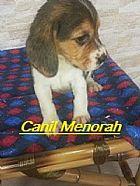 Filhote beagle brincalhoes e lindos