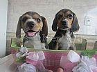 Beagle m promocao