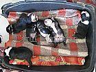 Boston Terrier venda de filhotes