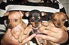 Filhotes de pinscher venda de caes
