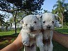 Filhote de West terrier lindos e carinhosos