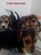 Beagle lindos filhotes brincalhoes