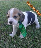 Machos de  mini beagle