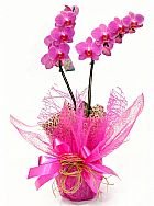 orquidea Phalaenopsis plantada especial  dia das Maes