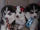 Husky Siberiano,  Filhotes,  Criador,  Canil