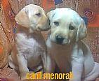 Filhotes de Labrador Amarelo