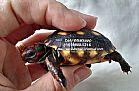 filhotes de jabuti,  tartaruga,  jabutipiranga,  tartaruga de terra