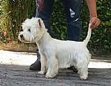 Canil de west highland white terrier rj