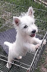West highland white terrier - lindos filhotes seropedica rj